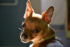 Piccola razza del cane Fotografie Stock