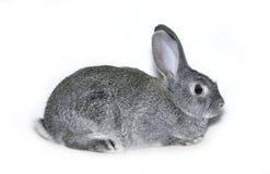 Piccola razza del coniglio del cincillà d'argento grigio Immagine Stock Libera da Diritti