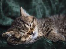 Piccola razza di Kitten Scottish addormentata in una sedia Fotografia Stock