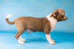 Piccola razza sveglia del cane della chihuahua Un supporto del cane Vista laterale Priorità bassa per una scheda dell'invito o un fotografia stock libera da diritti