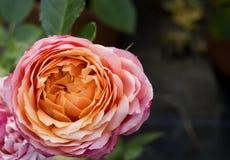 Piccola Rosa Immagine Stock Libera da Diritti