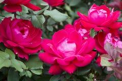 Piccola rosa rossa in piena fioritura fotografia stock