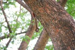 Piccola salita dello scoiattolo su un albero Fotografie Stock Libere da Diritti