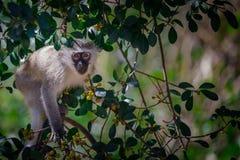 Piccola scimmia Fotografie Stock