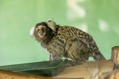 Piccola scimmia Fotografia Stock