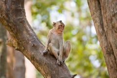 Piccola scimmia che si rilassa sull'albero in Tailandia immagini stock
