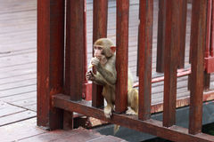 Piccola scimmia con i biscotti Fotografia Stock Libera da Diritti