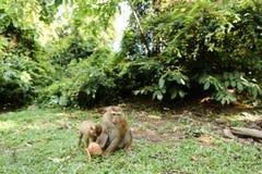 Piccola scimmia della madre che mangia noce di cocco con i bambini su erba Fotografia Stock