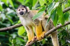 Piccola scimmia fra gli alberi che guardano avanti Immagini Stock