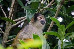 Piccola scimmia fra gli alberi che guardano avanti Fotografia Stock