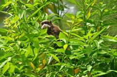 Piccola scimmia nel cespuglio. Fotografia Stock Libera da Diritti