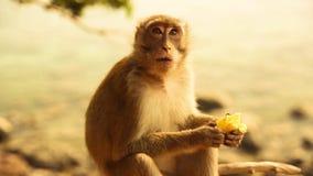 Piccola scimmia sveglia che mangia banana video d archivio