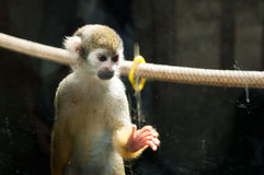 Piccola scimmia triste Fotografie Stock Libere da Diritti