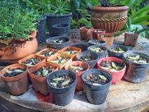 Piccola scuola materna delle piante in piccoli vasi di plastica per crescere Immagini Stock