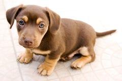 Piccola seduta del cane Immagini Stock Libere da Diritti
