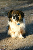 Piccola seduta del cane Fotografie Stock