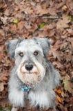 Piccola seduta del cane di animale domestico della regolazione stagionale Immagine Stock Libera da Diritti