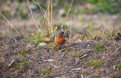 Piccola seduta dell'uccello di Brown fotografia stock