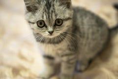 Piccola seduta scozzese grigia del gatto Fotografie Stock
