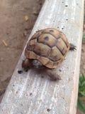 Piccola tartaruga Immagini Stock