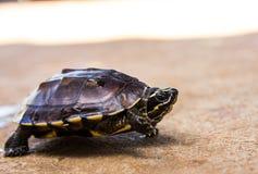 Piccola tartaruga Fotografia Stock