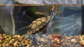 Piccola tartaruga con le orecchie rosse video d archivio