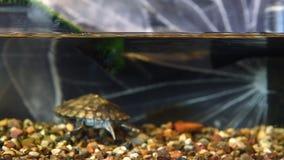 Piccola tartaruga con le orecchie rosse archivi video