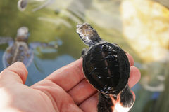 Piccola tartaruga di mare all'azienda agricola Immagini Stock Libere da Diritti