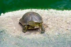 Piccola tartaruga in uno zoo Fotografie Stock Libere da Diritti