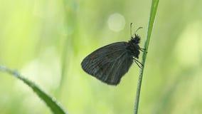 Piccola ubicazione graziosa della farfalla sull'erba nella mattina stock footage