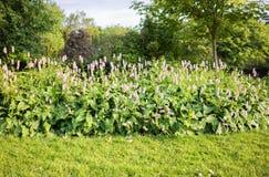 Piccola varietà dei lupini porpora Fotografia Stock