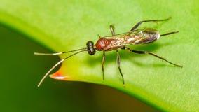 Piccola vespa parassitaria fotografia stock libera da diritti