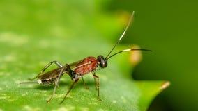 Piccola vespa parassitaria immagini stock