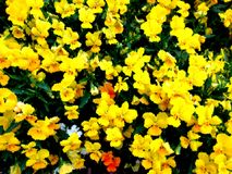 Piccola Violet Flowers Painting gialla Fotografia Stock Libera da Diritti