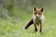 Piccola volpe rossa Immagine Stock