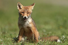 Piccola volpe rossa Immagini Stock