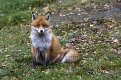 Piccola volpe sveglia Fotografia Stock Libera da Diritti