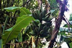 Piccole banane verdi macchiate in Costa Rica immagini stock