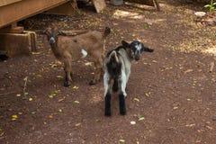 Piccole capre Fotografia Stock Libera da Diritti