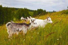 Piccole capre al pascolo Fotografia Stock