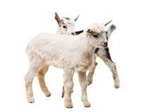 piccole capre isolate Immagini Stock Libere da Diritti