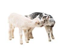 piccole capre isolate Fotografie Stock Libere da Diritti