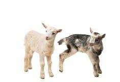 piccole capre isolate Fotografia Stock Libera da Diritti