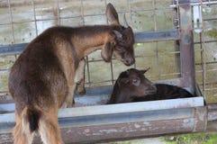 Piccole capre sveglie sull'azienda agricola Fotografia Stock