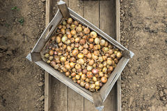 Piccole cipolle del seme in una scatola Immagine Stock