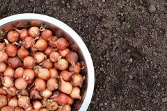 Piccole cipolle per la piantatura in ciotola fotografia stock