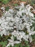 Piccole foglie bianche di bianco delle piante Fotografia Stock