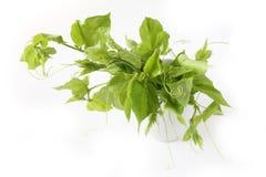 Piccole foglie dei giovani del passiflower Fotografia Stock