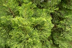 Piccole foglie del fondo di struttura del pino Fotografia Stock Libera da Diritti