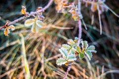 Piccole foglie gelide Fotografia Stock